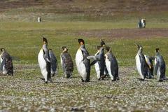Koningspinguïnen op Vrijwilligerspunt in de Eilanden van de Falkland Eilanden royalty-vrije stock afbeelding