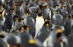 Koningspinguïnen op Vrijwilligerspunt, Falkland Islands royalty-vrije stock foto's