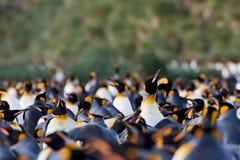 Koningspinguin, Koning Penguin, Aptenodytes-patagonicus royalty-vrije stock foto's