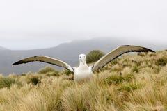 Koninklijke Albatros stock afbeeldingen