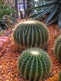 Koninklijke cactus Royalty-vrije Stock Afbeeldingen