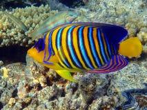 Koninklijke diacantus zeeëngel-Pigoplites royalty-vrije stock foto