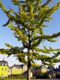Koninklijke ginkgo royalty-vrije stock foto
