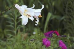 Koninklijke lelie twee onder gras en andere bloemen Stock Foto's