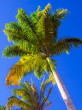 Koninklijke palm Royalty-vrije Stock Foto's