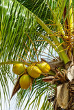 Koninklijke Palmen Cuba Royalty-vrije Stock Foto