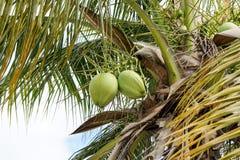 Koninklijke Palmen Cuba Stock Afbeeldingen