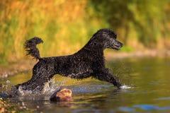 Koninklijke poedel die in het water lopen royalty-vrije stock fotografie