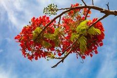 Koninklijke Poinciana in Antigua, Antigua en Barbuda Stock Afbeeldingen
