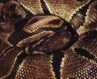 Koninklijke python stock afbeelding