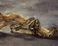 Koninklijke python stock fotografie