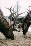 Koninklijke rode hertenbok met geweitakken Royalty-vrije Stock Foto