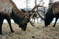 Koninklijke rode hertenbok met geweitakken Stock Foto