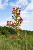Koninklijke silene Silene Regia wildflower Stock Foto's