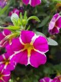 Koninklijke tuinbloem Stock Afbeeldingen