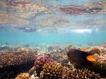 Koninklijke zeeëngel over ertsaderkoraal stock fotografie