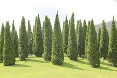Konischer immergrüner Nadelbaum stockbild