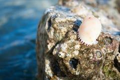 Konisches Seeschneckenhaus auf einem Felsen am Strand Stockbild