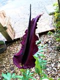 Konjac Amorphophallus - λουλούδι με μια δυσάρεστη μυρωδιά στοκ φωτογραφίες