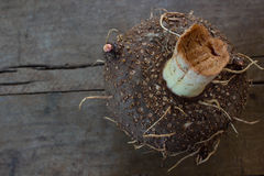 Konjac, amorphophallus, eau-baquet de Stanley s Images stock