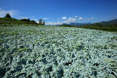 Konjac field and blue sky Royalty Free Stock Photo