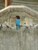 konkret kingfishervägg fotografering för bildbyråer