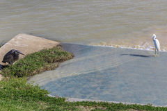 Konkreter Abflusskanal mit Reihern und schlammigem Wasser Stockfotografie