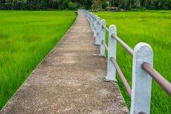 Konkreter erhöhter Gehweg auf dem grünen Reisgebiet in Ubonratchathani, Thailand Lizenzfreie Stockfotos