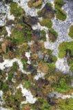 Konkreter Moss Covered Texture Stockbild