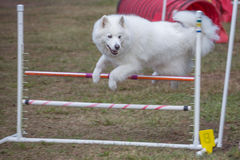 Konkurrens för hundbanhoppningkurs Arkivbild