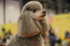 Konkurrens som ansar hundkapplöpning Royaltyfria Foton