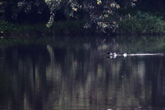 konkurrensar som dyker pölsportar som simmar vatten Royaltyfri Bild