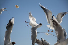 Konkurrenskraftiga Seagulls Royaltyfri Bild