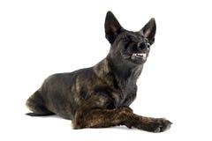 Konkurrenzfähiger Holland-Schäferhund Stockbild