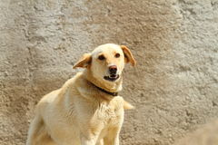 Konkurrenzfähiger Hund Lizenzfreie Stockbilder