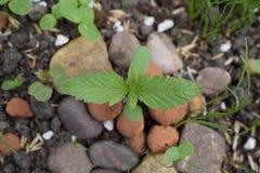 Konopiana roślina Zdjęcia Stock