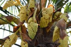 Konopiani palm okwitni?cia zdjęcie stock