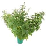 Konopie (marihuana) w wiadrze Obrazy Stock