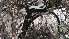 Konsekwencje śnieżna burza w wiośnie Łamani kwiatonośni drzewa, śnieżne gałąź, śnieg i kwiaty, opad śniegu, klimat zbiory