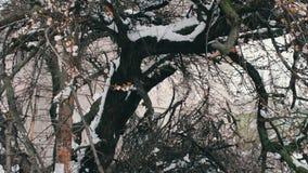 Konsekwencje śnieżna burza w wiośnie Łamani kwiatonośni drzewa, śnieżne gałąź, śnieg i kwiaty, opad śniegu, klimat zbiory wideo