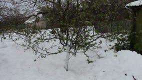 Konsekwencje śnieżna burza w wiośnie Młoda jabłoń z niedawno kwitnącą zielenią opuszcza stojaki w śniegu, klimat zbiory