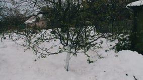 Konsekwencje śnieżna burza w wiośnie Młoda jabłoń z niedawno kwitnącą zielenią opuszcza stojaki w śniegu, klimat zdjęcie wideo