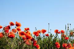 konservera rhoeas för blommapapavervallmon royaltyfria bilder