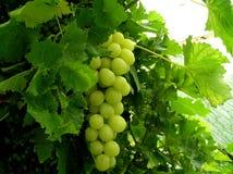 konserwatoriów winogron Obrazy Royalty Free