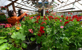 Konserwatorium kwiaty Zdjęcie Stock