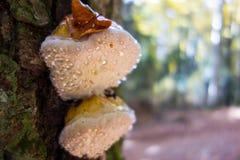 Konsolsvampar med vattendroppar och ett torrt blad Arkivfoto