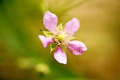 Konst för bakgrund för makro för familj för Rosaceae för blommaRubusoccidentalis i högkvalitativa tryckprodukter femtio megapixel arkivbilder