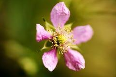 Konst för bakgrund för makro för familj för Rosaceae för blommaRubusoccidentalis i högkvalitativa tryckprodukter femtio megapixel royaltyfria foton