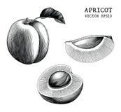 Konst för gem för tappning för attraktion för aprikossamlingshand som isoleras på vit stock illustrationer