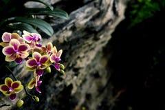 Konst för orkidéblommaThailand bakgrund Arkivfoto